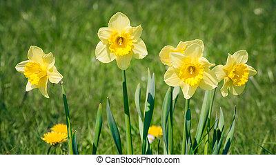 daffodils - An image of some nice yellow daffodils