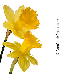 Daffodils - daffodils isolated on white background