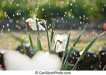 Daffodils under the rain
