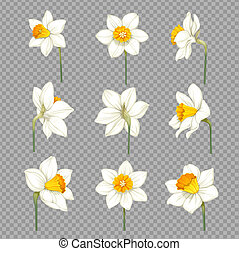 Daffodils white with yellow centers separate flowers on imitation of transparent background