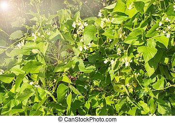 dag, licht, erwt, witte , organisch, jonge, groente, groeiende, bloemen, concepten, zonnig, zomer, of, boon, plant