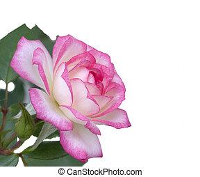 dag, moeders, bloem, rose kwam op, witte