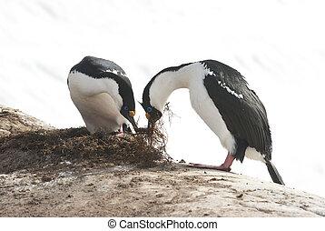 dagli occhi azzurri, cormorano, nest., costruire, femmina, antartico, maschio