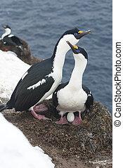 dagli occhi azzurri, cormorano, nest., femmina, antartico, maschio