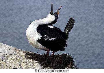dagli occhi azzurri, cormorano, primavera, nido, tokuyuschy, antartico, giorno