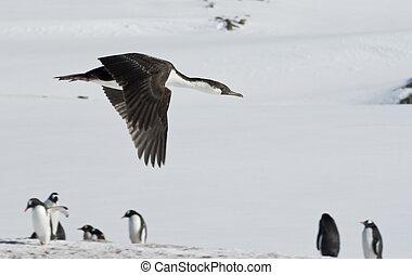 dagli occhi azzurri, cormorano, sopra, volare, penguins., antartico