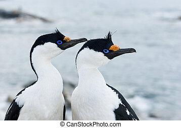 dagli occhi azzurri, cormorant., femmina, ritratto, antartico, maschio