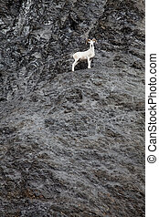Dahl sheep on a cliff - A dahl sheep stand on a cliff ...