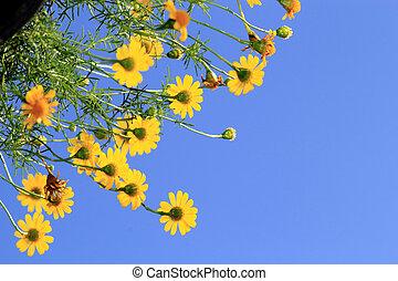 dahlberg, デイジー, 花