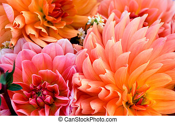 Dahlia background - Floral background of autumn dahlias in ...