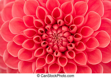 Dahlia - Close-up of a single dahlia bloom