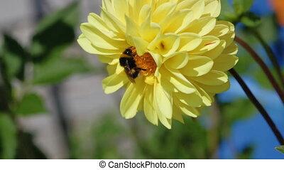 dahlia, fleur, bourdon