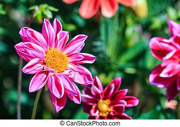 dahlia, fleur, fond