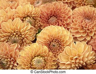 dahlia, fleurs