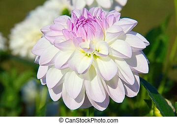 Dahlia flower - Colorful dahlia flower with morning dew ...