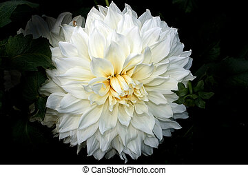 Dahlia, flower, summer, single, plants, summer