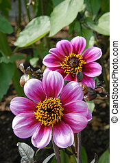 Dahlia (magnoliophyta asteraceae) is the official flower of the city of Seattle, Washington, USA. This variety is called Dahlia Moonfire.