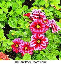 Dahlia flowers growing in the garden