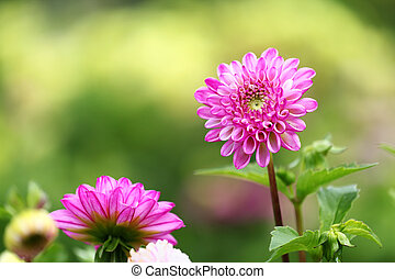 dahlia flowers on green background