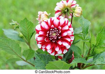 Dahlia Jamaica flower