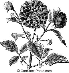Dahlia or Dahlia sp., vintage engraving. Old engraved illustration of a Dahlia plant showing flowers.