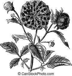 Dahlia or Dahlia sp., vintage engraving