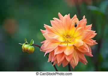 Dahlia orange and yellow flower in garden with bee