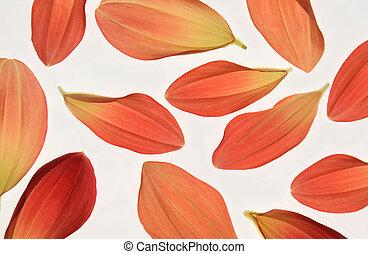 dahlia petals - Red and Alizarin Crimson Coloured Dahlia ...