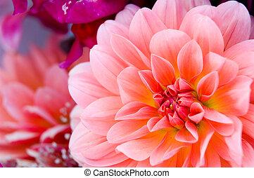 Dahlia - Bright flowers background