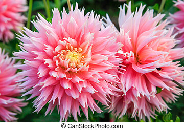 Dahlia pink and yellow flowers in Point Defiance park in Tacoma