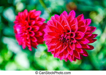 Dahlia pink flowers in Point Defiance park in Tacoma