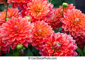 Dahlia red flower in garden full bloom closeup