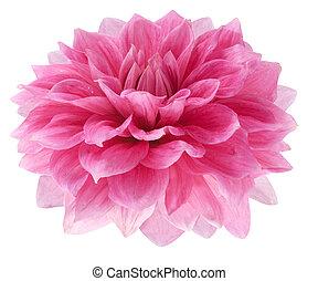 dahlia rose, fond blanc