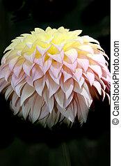 Dahlia Series 3 - Yellow, Pink & Purple Dahlia - Traces of...