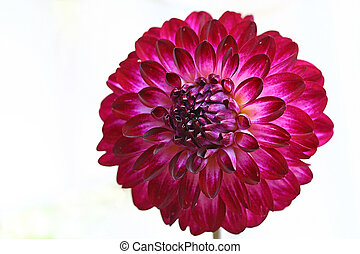 Dahlia - Single dahlia bloom on white background. Flower is...