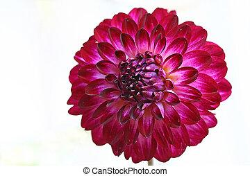 Dahlia - Single dahlia bloom on white background. Flower is ...