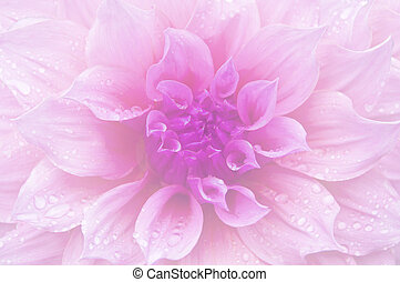 Dahlia soft color and blur style.