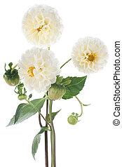 dahlia - Studio Shot of White Colored Dahlia Isolated on...