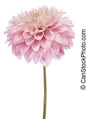 dahlia - Studio Shot of Pink Colored Dahlia Flower Isolated...