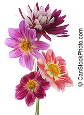 dahlia - Studio Shot of Dahlia Flowers Isolated on White...
