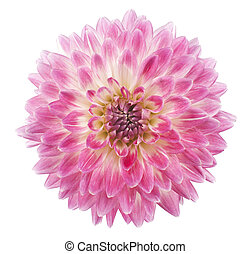 dahlia - Studio Shot of Pink Colored Dahlia Flower Isolated ...