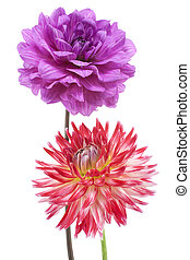 dahlia - Studio Shot of Purple and Red Colored Dahlia...