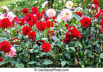 dahlias, flor