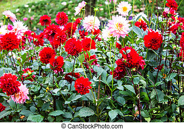 Dahlias Flower - Garden dahlias at Mae Fah Luang...
