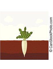 Daikon Japan radish with green leaves on top in soil, Fresh...