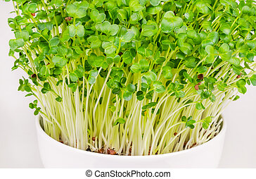 Daikon radish microgreens in white bowl, Japanese radish sprouts