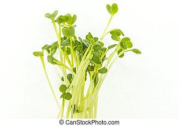 Daikon sprouts in a closeup