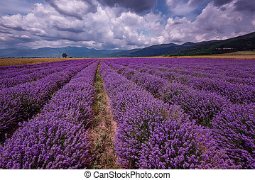 Daily cloudy landscape with lavender in the summer at the end of June. Contrasting colors, beautiful clouds, dramatic sky.
