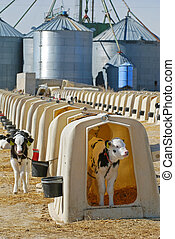 Holstein calves in hutches on large dairy farm.