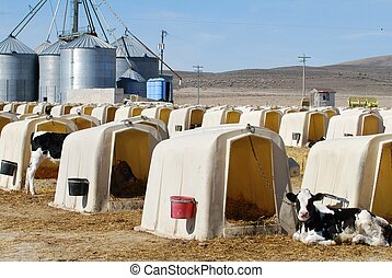 Dairy Calves in Hutches
